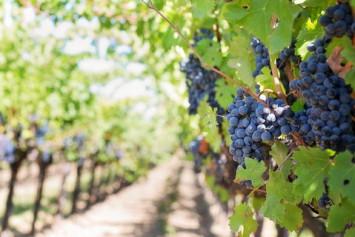 purple grapes 553462 960 720